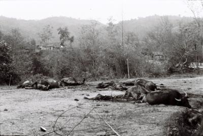 Trâu bò bị giết dọc đường quân Trung Quốc đi qua.